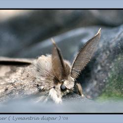 donsvlinder