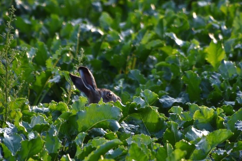 haastje repje - Rennende en springende hazen in het veld. Zijn lange oren verraden hem.<br />