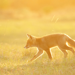 Golden fox.