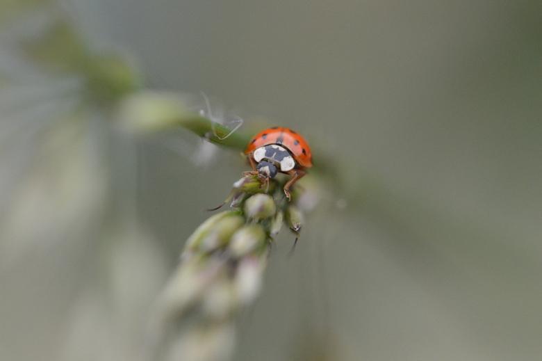 Model van de dag - Een lieveheersbeestje dat voor de lens komt poseren