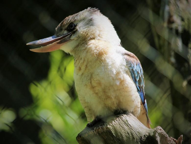 Lachende Kookaburra Vogel - Kookaburra, lachvogel is een van de grootste ijsvogelsoort die er zijn, en kan uitbundig schaterlachen.<br /> <br /> Lan