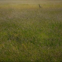 veld vol grote vossenstaart met nijlgans