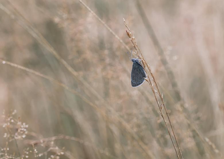 s Morgens vroeg.... ! - Hetzelfde blauwtje als van 's avonds laat.  Nu vroeg in de ochtend , 6 uur al in het veld.  Hier gekozen voor een ruimere