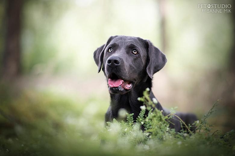 Zilver Labrador  -
