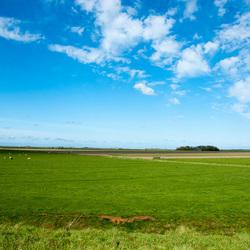 hollandse lucht en koeien in het gras