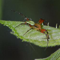 Araniella Cucurbitina(Komkommerspin)