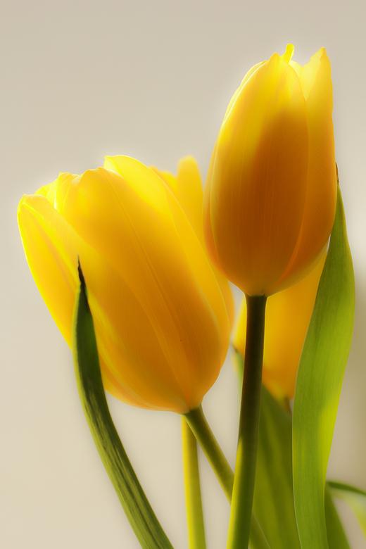 tulpen (1 van 1).jpg - tulpen in softfocus