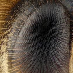 Bijen oog 10x vergroting