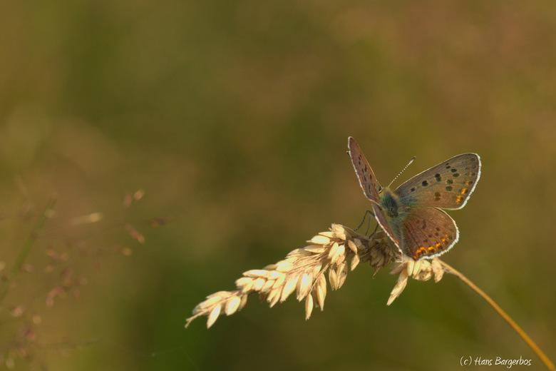 Mijn favoriete vlinder... - De bruine vuurvlinder blijft voor mij een van de mooiste vlinders. Vorig jaar heb ik ze helaas niet veel aangetroffen. Ik