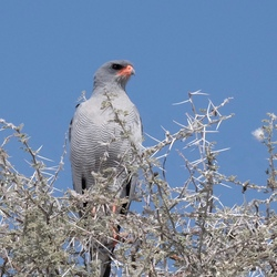 Chanting havik in Etosha Nationaal park