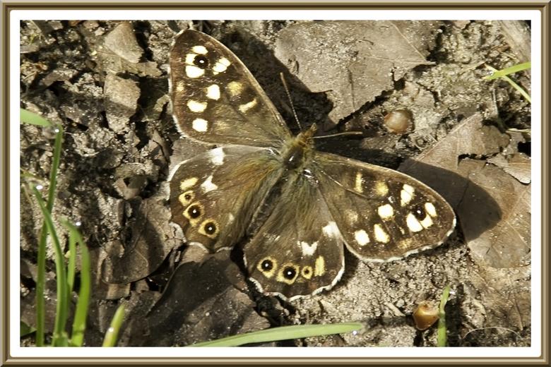 Vlinder - Mijn eerste gelukte foto van een vlinder van dit jaar.<br />