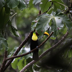 Yellow-throated Toucan Costa Rica