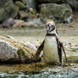 Pinguïn klaar voor de duik