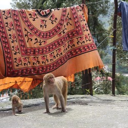 India,Monkey