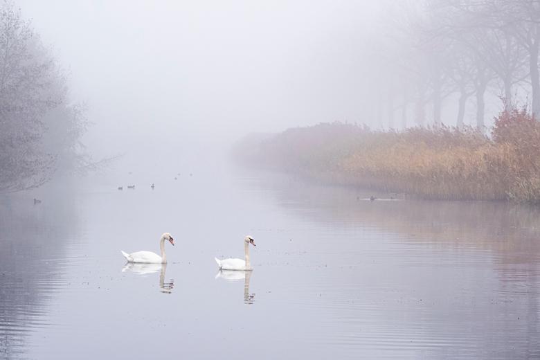 Sereen ... - Mist maakt zacht, de witte zwanen versterken dit. De enige kleur komt van het riet, wat er voor zorgt dat het toch geen zwart-wit foto wo