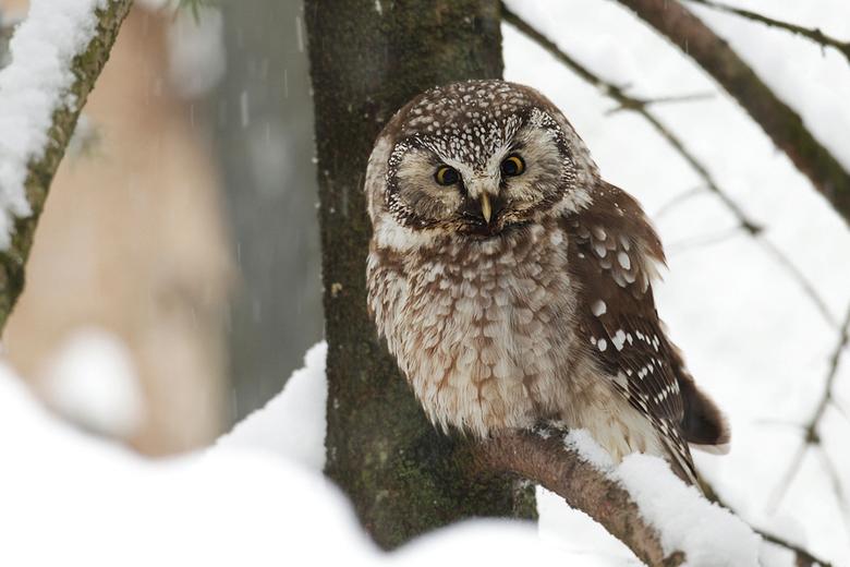 Besneeuwde Ruigpootuil - Het was koud..... HEEL koud!<br /> Alsof dat nog niet genoeg was was het ook nog eens flink hard aan het sneeuwen.<br /> <b