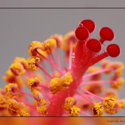 Chinese roos van heeeeeel dichtbij.