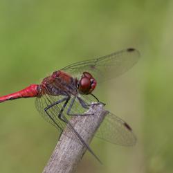 Rode Libelle?
