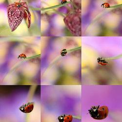 Collage lieveheersbeestje
