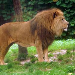Leeuw in GaiaZoo