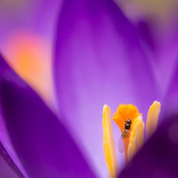 A crocus with a guest
