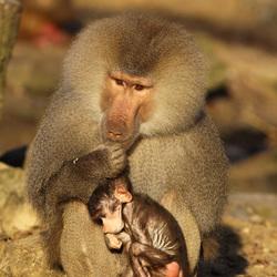 Kleine baviaan zoekt bescherming bij zijn vader