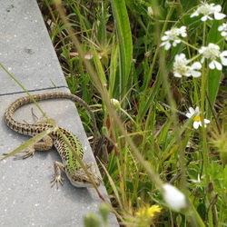 Salamander (amfibie)