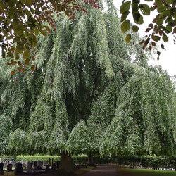 Treurbeuk op kerkhof van Twijzel