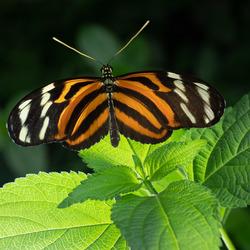 Vlinder in Burgers Zoo, mangrove