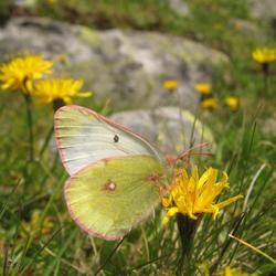 Veen luzerne Vlinder