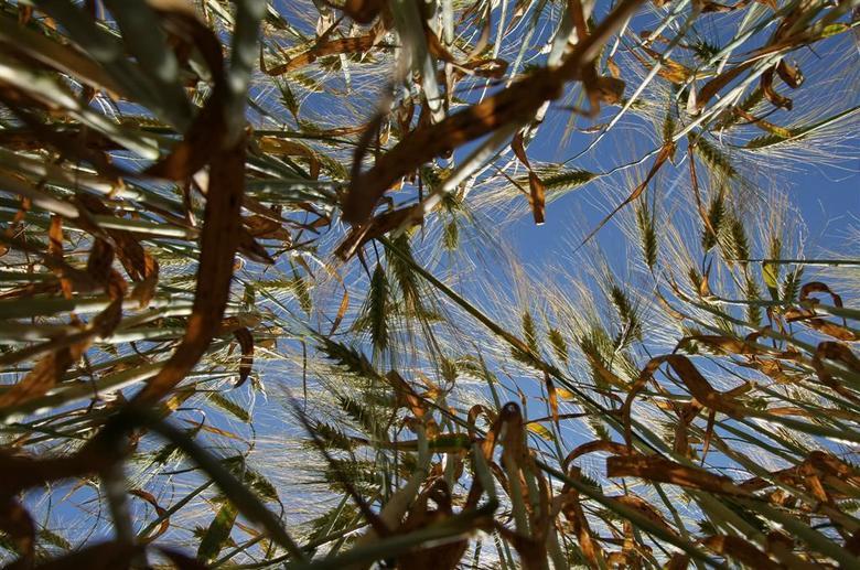 korenveld