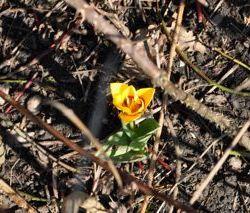 dapper tulpje
