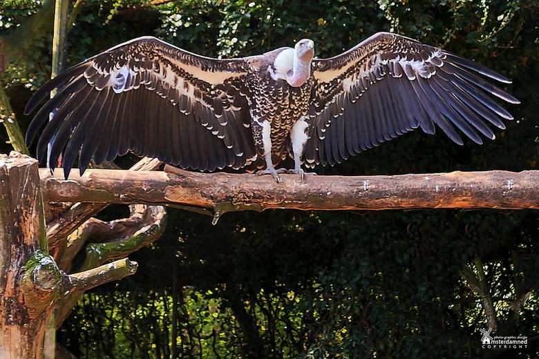 Avifauna - Deze uitslover stond te flashen in het vogelpark Avifauna ...