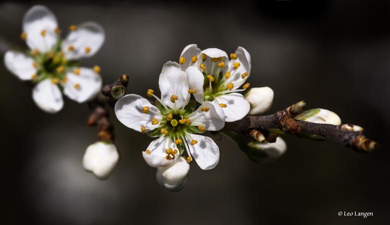 Bloesem (Sleedoorn?) - Iedereen bedankt voor de mooie en lieve reacties op de appelbloesem van de vorige keer.<br /> Erg blij mee.<br /> Groetjes Le
