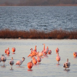 Flamingo's in NL