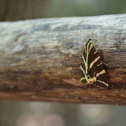 Vlinder - Petaloudes Rhodos
