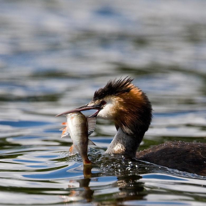 Fuut met baarsje - Visje gevangen voor de jongen die met moeder iets verderop zaten te wachten...