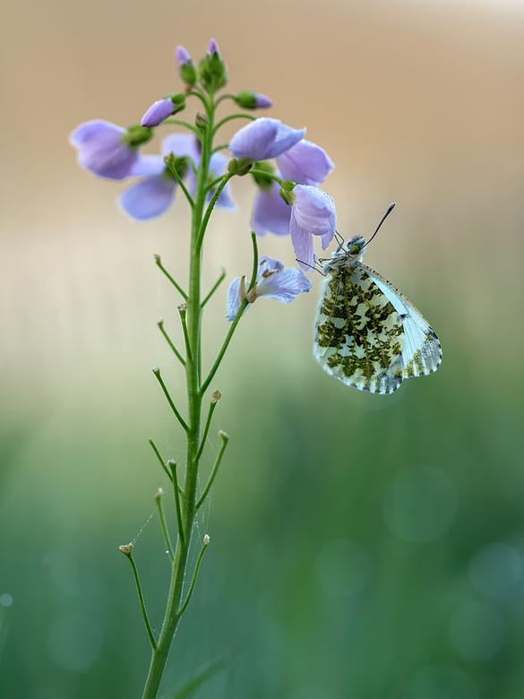 oranjetipje - in het vroege voorjaar dit mooie vlindertje kunnen fotograferen, hopelijk zitten ze er dit jaar weer!<br />