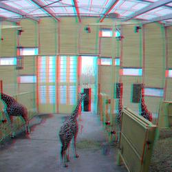 Giraffe Blijdorp Zoo 3D