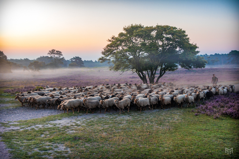 Schapen in het vroege ochtendlicht - Een kudde schapen met een herder op de hei tussen Hilversum, Laren en Eemnes in het vroege ochtendlicht op een ma