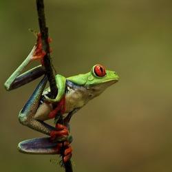 red eye three frog