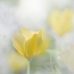 Tulp tussen daslook
