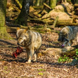 Wolf met zijn voedsel