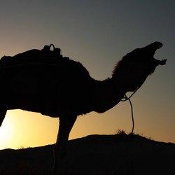 Kameel in woestijn, Tunesie