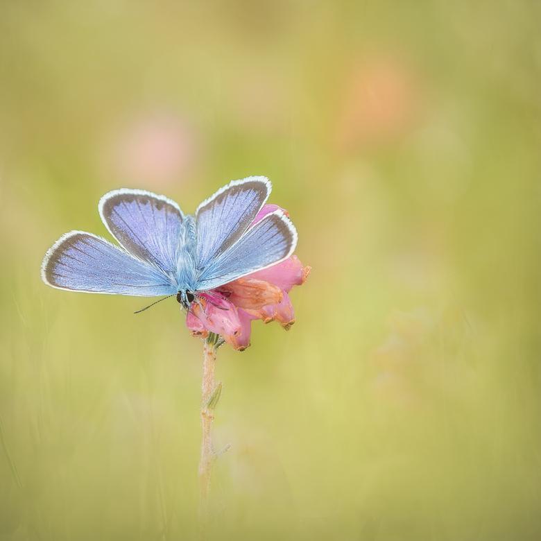 Blue Wings - Zo leuk om een blauwtje ook eens met gespreide vleugeltjes te kunnen vastleggen. <br /> <br /> Iedereen heel erg bedankt voor de leuke