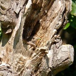 Bruine vliegenvanger