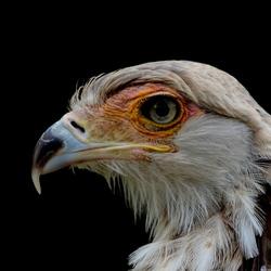 DSC_0436 secretarisvogel