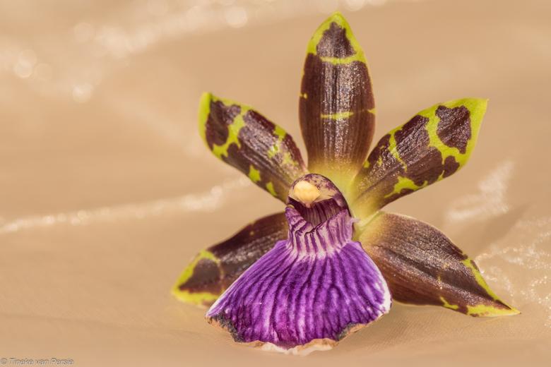 """De donkere Beauty - De donkere schoonheid.... Maak niet uit welke orchidee je pakt. Ze voldoen allemaal aan de """"eisen"""" van schoonheid. Ook d"""