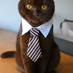 Just a cat with a tie