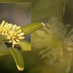 Buxus bloemetje.